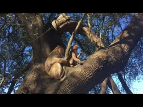 Barbary Apes - Gibraltar 1