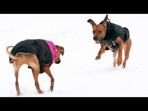 Rhodesian Ridgebacks Take on 2019 - And Lots of Snow!