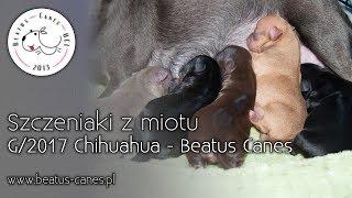 Szczeniaki z miotu G/2017 Chihuahua - Beatus Canes