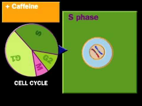 cell cycle control check point - youtube