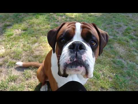 Boxer Rex and Sammie update: obedience training + Rex answer questions + kisses 😍