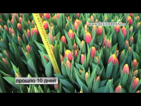 срезка тюльпанов к 8 марта(1 марта)