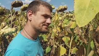 Гибрид подсолнечника под гранстар АЛЬФА  Засухоустойчив, Олийный и Высокоурожайный для Юга Украины