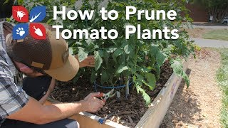 Do My Own Gardening - How to Prune Tomato Plants