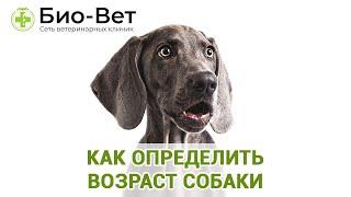 Как Определить Возраст Собаки & Почему Важно Знать Возраст Собаки. Ветклиника Био-Вет