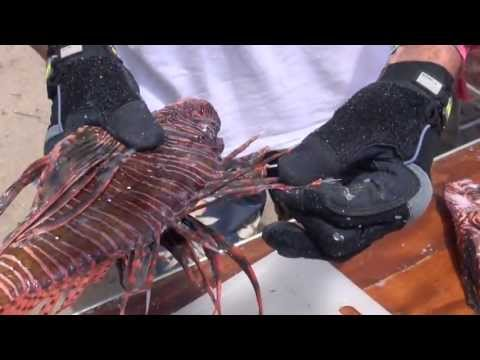 How To Prepare Lionfish For Cooking