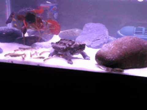 My Baby Alligator Snapping Turtle On The Hunt... - YouTube