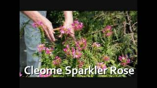 Cleome Sparklers