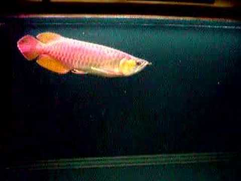 VF super red arowana