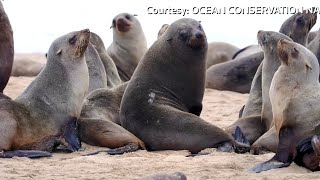 More than 7,000 dead seals found along Namibian beach: conservation group