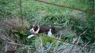 My English Springer Spaniel Fetches Up A Songthrush