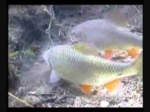 Comme préparer nout pour la pêche pour la chasse de la carpe
