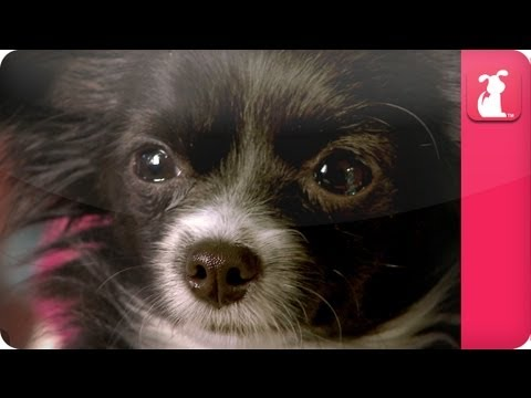 Chihuahua Who Hates Walks And The Animal Communicator - Pet Sense: Robin And Mochi Part 2