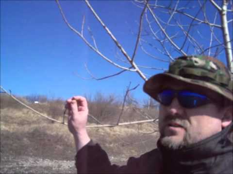 Balm Of Gilead Cottonwood Buds Habitat Wild Medicinals