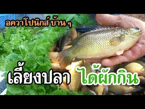 เลี้ยงปลาได้กินผักฟรี อควาโปนิกส์ แบบบ้าน ๆ