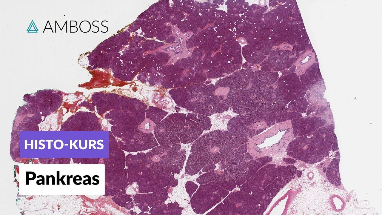 Histologie des Pankreas (Bauchspeicheldrüse) - Mikroskopische ...