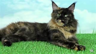Кошка мейн кун Spellbound's Haijra, окрас черепаховый, питомник Grey Claw`s в 3,5 года