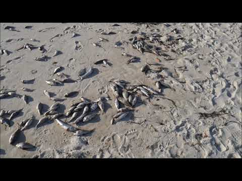 Red Tide Panama City Beach - Officials Sweep Away Evidence - September 2018