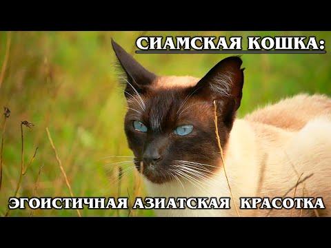 СИАМСКАЯ КОШКА: Своенравная красавица из Тайланда | Интересные факты про кошек | Породы кошек