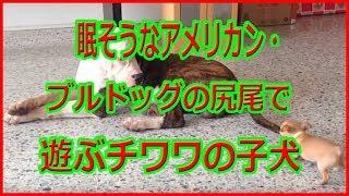 眠そうなアメリカン・ブルドッグの尻尾で遊ぶチワワの子犬.