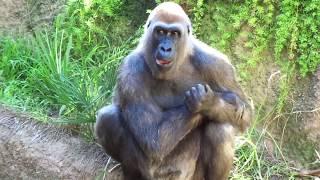ゴリラ ケリーくん440パウンド、200キロ Gorilla Kelly Family Kelly 44...