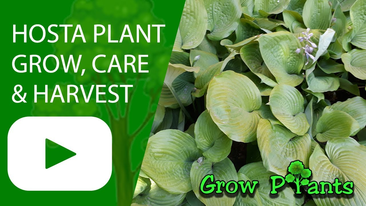 Hosta Plant Grow Care Harvesting Eat Indoor Plant Youtube