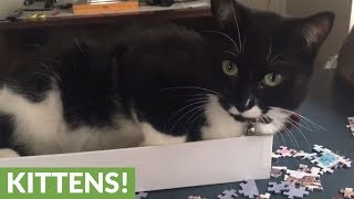 """Cat """"helps"""" owner with 1,000 piece jigsaw puzzle"""