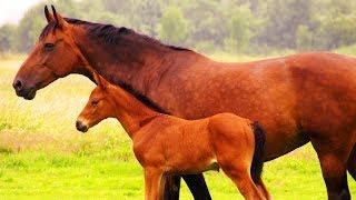 Les animaux de la ferme : le cheval