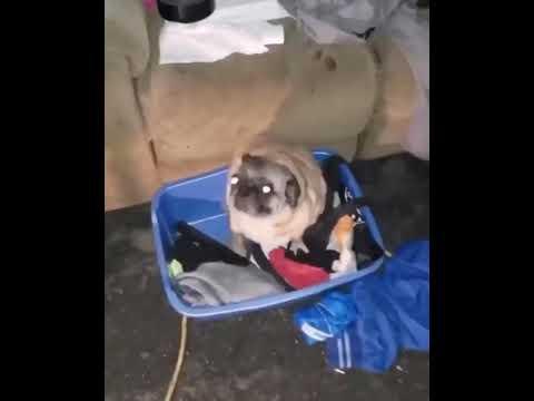 Танцующий мопс (Dancing Pug)