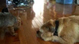 Truffle Vs Boo; Yorkie Vs Pug-mix. Me Want Food!