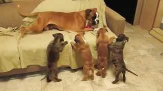 Boxer Pups Terrorize Living Room