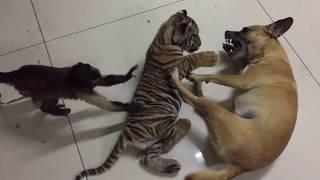 My favorit tiger monkey dog video!