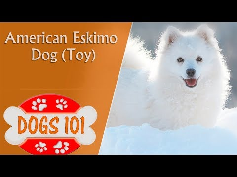 Dogs 101 - TOY AMERICAN ESKIMO - Top Dog Facts About the TOY AMERICAN ESKIMO