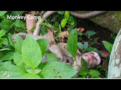 Thumbnail: Baby monkey cry, Why big monkey hit baby monkey? Why Mum not share banana to baby monkey?Monkey Camp