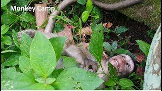 Baby monkey cry, Why big monkey hit baby monkey? Why Mum not share banana to baby monkey?Monkey Camp