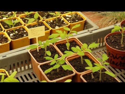 Eclaircir et repiquer au potager jardinerie truffaut tv - Quand repiquer les tomates en pleine terre ...
