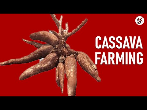 Cassava Farming In Nigeria; The Truth You Must Know