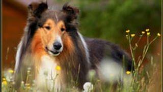 Колли. Шотландская овчарка. Лучшие породы собак.