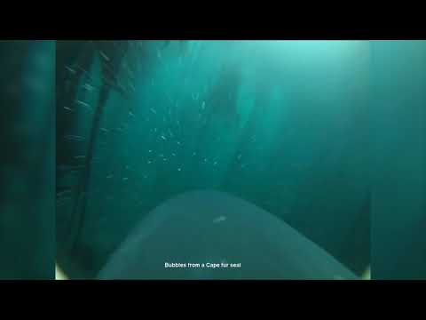 Surprising new video reveals great white shark hunting through a kelp forest