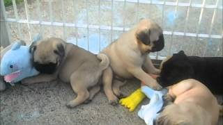 Pug Puppies For Sale June 22,2012