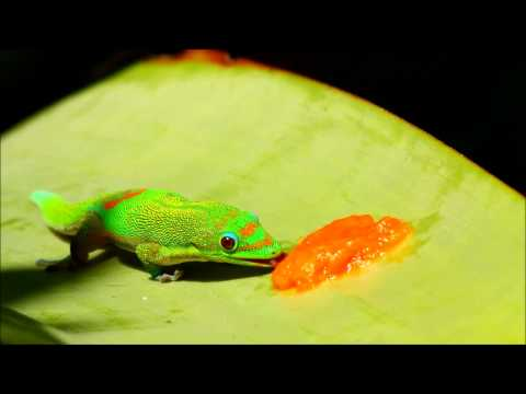Gold Dust Day Gecko Eating Papaya