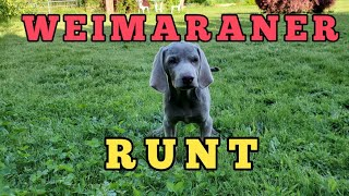 From a Runt to a Strong and Fast Weimaraner Puppy