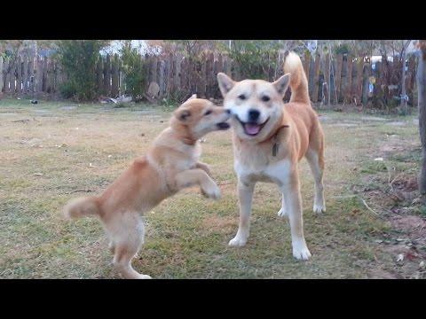 [31] 엄마개를 왕따 놓는 강아지와 아빠 진돗개 / Mother dog being bullied