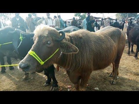 visit lahore buffalo sale markit