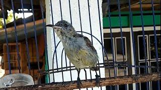 Suara Kolibri Ninja Betina Ampuh TERAPI Pancing Burung KONIN Jantan Agar Cepat Bunyi Gacor Ngobra