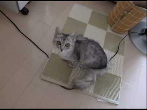 飼い主が帰るとメッチャ鳴く猫