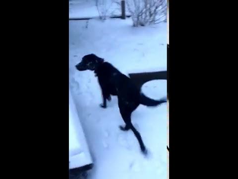 Labrador Loves Snow   Saratoga Springs, NY