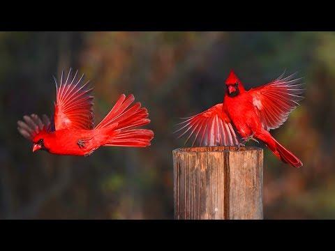 কার্ডিনাল পাখি | Unbelievable Northern Cardinal | Top 10 Most Stunningly Beautiful Birds in World