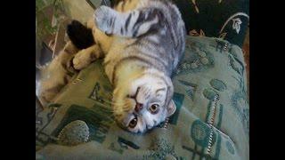 Купить шотландских котят в Губкине.89511509569