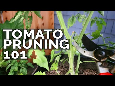 how-to-prune-tomatoes-for-maximum-yield-and-plant-health